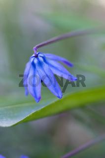 Harvest Brodiaea (Brodiaea coronaria)