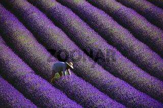 Lavendelernte, Provence, France