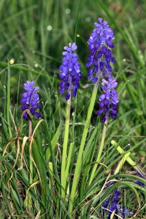 Muscari botryoides, Traubenhyazinthe, grape hyacinth