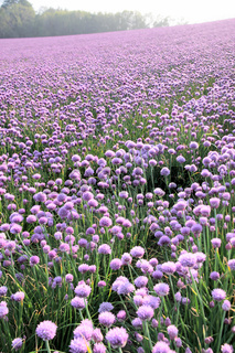 Flowering onion field