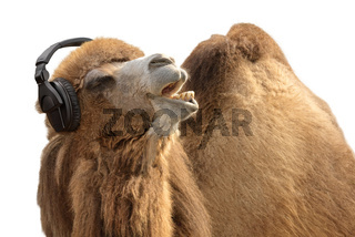 Camel with headphones singing passionately