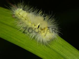 Schmetterlingsraupe - Buchenstreckfuß