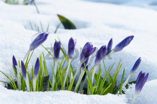 Violette Krokusse blühen im Schnee im zeitigen Frü