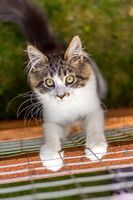 Young Maine Coon cat at the fence