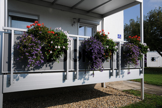 Scaevola saligna, Fächerblume, Fan Flower, Balkon