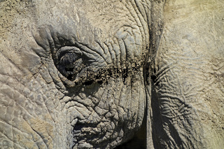 Elephant - very detailled portrait
