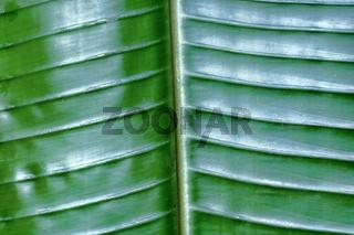 bananenblatt dunkelgrün