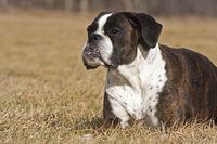 lying Boxer dog