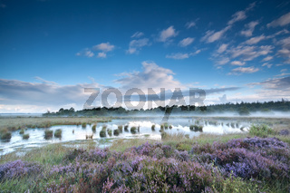 flowering heather on swamps in misty morning