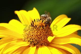 Biene in honiggelber Blüte