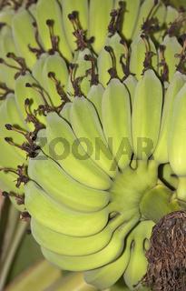 Bio Banane unreif