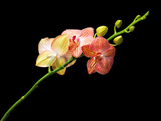 Orchid flower on a black background