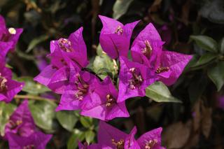 Bougainvillea glabra, Drillingsblume, Bougainville - Paper flower, Lesser Bougainvillea