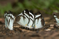 Mud-puddling of Black-banded Whites butterflies