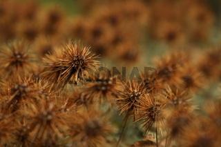Stachelnüsschen/Acaena microphylla 'Kupferteppich'