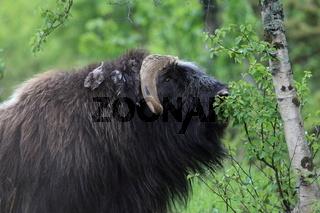 Moschusochsenbulle beim fressen