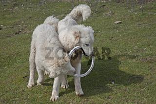 Maremmen-Abruzzen-Schäferhunde
