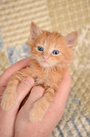 Orange Kitten in Hands