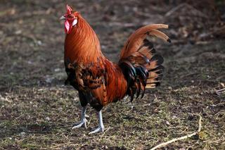 Hahn im Hühnerhof