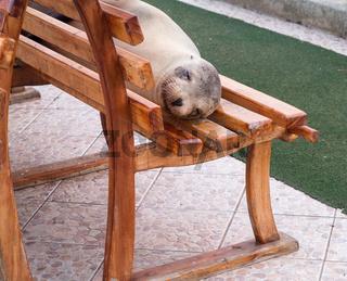 Single sealion or seal sleeping on bench