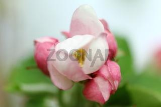 Apfelblüte V