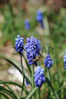 Muscari botryoides, Traubenhyacinthe, Grape hyacinth