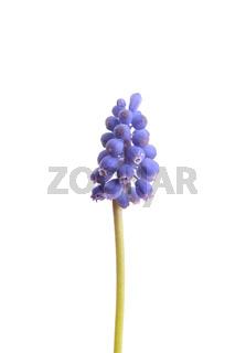 Traubenhyazinthe (Muscari botryoides)