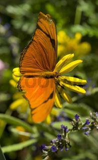 Julia Butterfly Sitting on Garden Flower