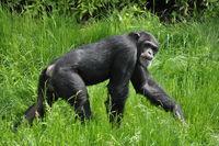 chimpanse