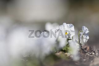 Garten-Stiefmütterchen (Viola wittrockiana)