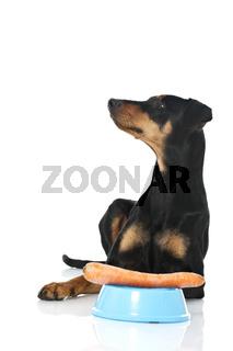 Hund wartet auf Futter