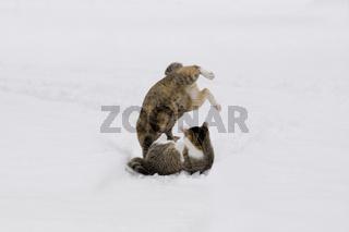 Katzen spielen/kaempfen im Schnee, Cats playing/fighting in snow
