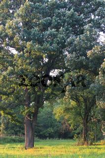 Oak Savanna in Illinois