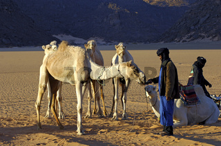 Tuareg Nomade füttert seine Dromedare, Sahara