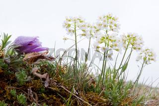Pulsatilla vulgaris und Noccaea montana