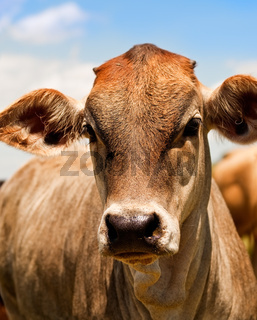 Australian beef cattle young yearling cow portrait against blue sky