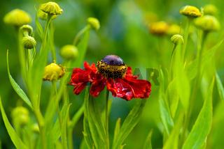 Red Rudbeckia - Rote Rudbeckie