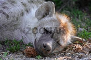 Tüpfelhyäne, Südafrika, wildlife; hyeana in south africa, wildlife, spotted hyena, Crocuta crocuta