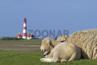 Schafe mit Leuchtturm Westerhever, Nordfriesland, Schleswig-Holstein, Deutschland