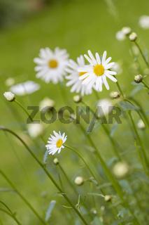 Margeriten im Rasen