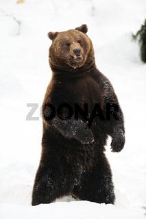 Braunbär, Winter