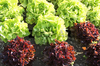 Lactuca sativa, Salate, Salad