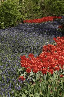 Muscari, Trauben-Hyazinthen mit Tulpen