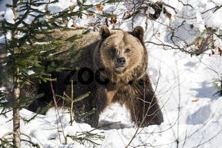 Braunbär (Ursus arctos) im Winter