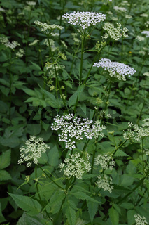 Ground Elder, Aegopodium podagraria, Giersch