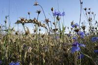 cornflowers besides grainfield
