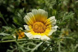 Chrysanthemum coronarium, Syn. Glebionis coronaria, garland chrysanthemum