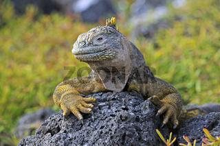 Drusenkopf (Conolophus subcristatus),Galapagos Landleguan , Inse