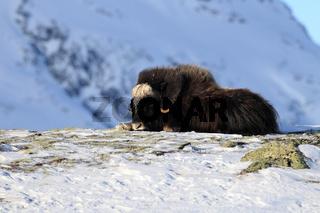 Moschusochsen im Winter