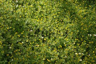 Anemone ranunculoides, Gelbes Windroeschen, Yellow Windflower